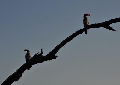 african-hornbills-2000px
