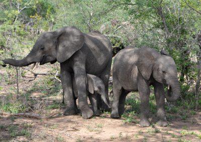 baby-elephant-under-mom-2000px