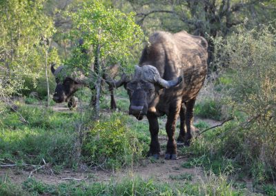 cape-buffalo-standing-2000px