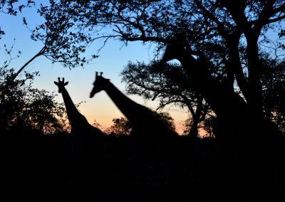 giraffe-silhouette-2000px