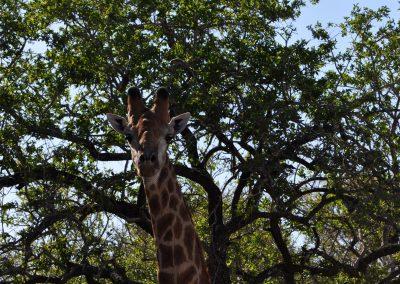 giraffe-staring-2000px