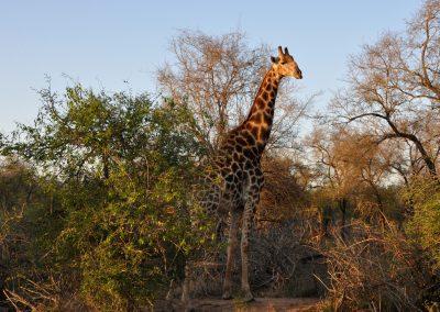 giraffe-tall-2000px