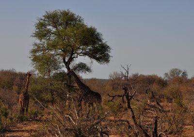 giraffes-three-in-trees-2000px