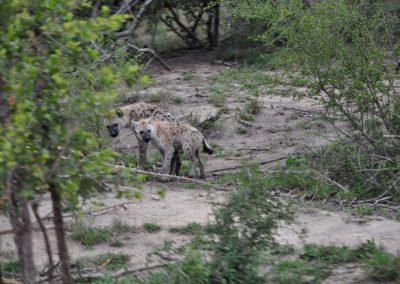 hyena-baby-2000px