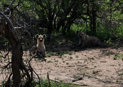 hyenas-2000px