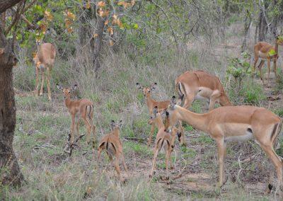 impala-babies-2000px