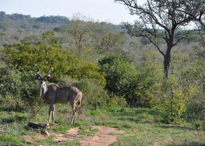kudu-male-2000px