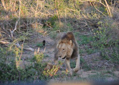 lion-in-bush-2000px
