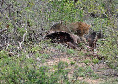 lion-vultures-kill-2000px