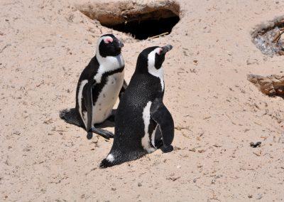 penguin-couple-2000px