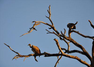 vultures-2000px