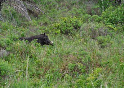 warthog-in-grass-2000px