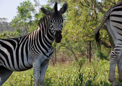 zebra-baby-2000px
