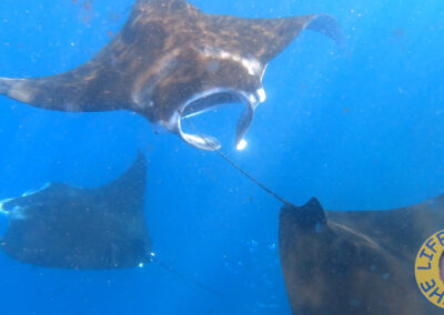 Manta Rays on the coast of Nuku Hiva